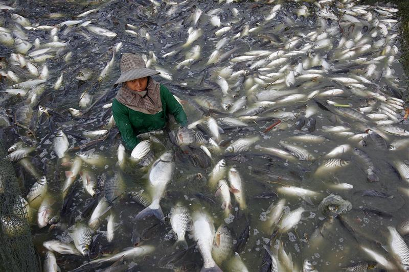 Thai fisherman catches freshwater white tilapia fish at a fish farm in Samut Prakarn